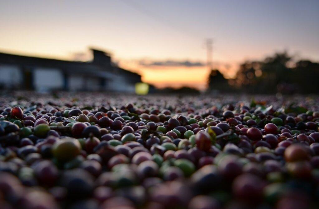 Sunset coffee farm